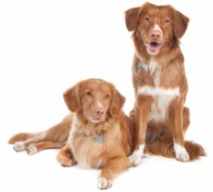 Keisersnitt hund pris